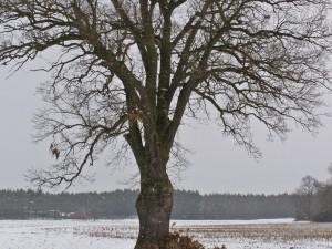 Nowy pomnik przyrody w Żerkowsko-Czeszewskim Parku Krajobrazowym